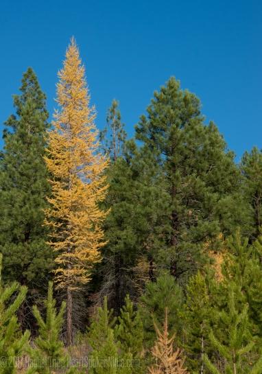 Tamarack Trees, Sapphire Mountain Range, Montana