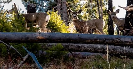 Mule Deer Cows